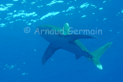 Oceanic whitetip shark coming!