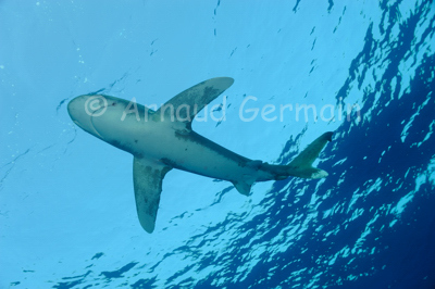 Oceanic whitetip shark from under.