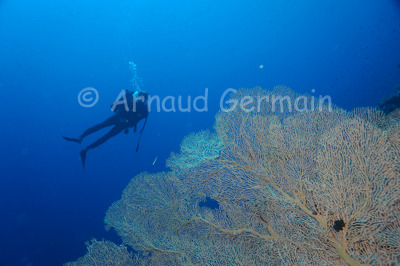 Sea fan and diver