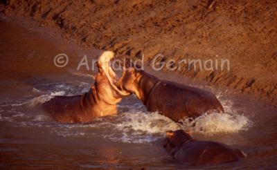 Male Hippo Fight
