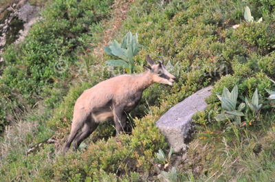 Chamois Browsing on Blueberry Bushes