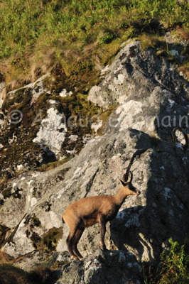 Chamois On Rock Face