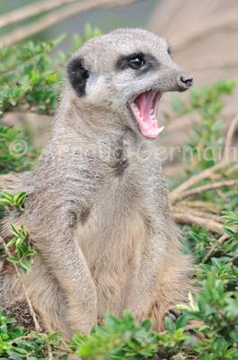 Meerkat Yawning