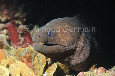 Moray Eel Portrait