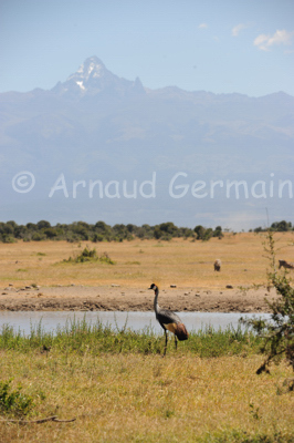 Crowned Crane and Mount Kenya