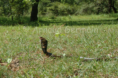 Angry Mozambique Spitting Cobra