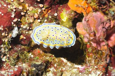 Twin Chromodorid or Gem Seaslug