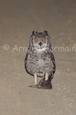 Spotted Eagle Owl and Mouse