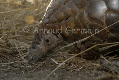 Pangolin Portrait