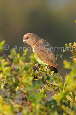 Brown Parrot in a tree