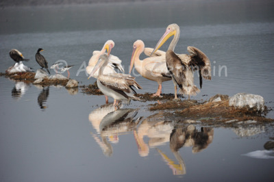 Pelicans Reflection