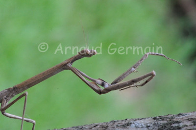 Stick Praying Mantis
