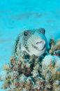 Whitespotted Pufferfish