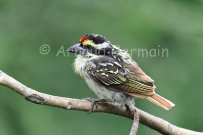 Red Fronted Barbet