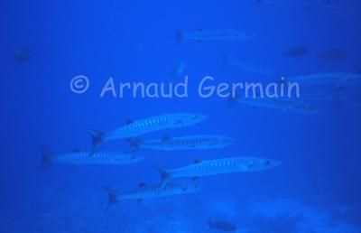 School of Great Barracuda