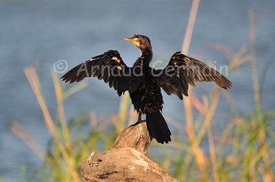 Reed Cormorant Sunning Himself