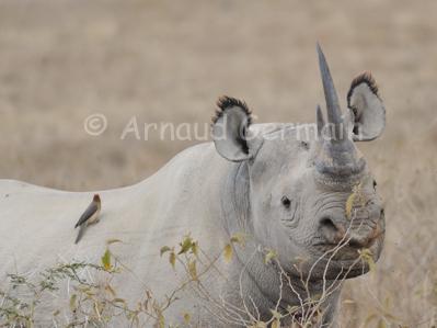 George the Black Rhino (I)