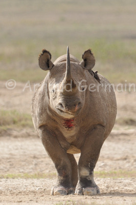 George the Black Rhino (II)