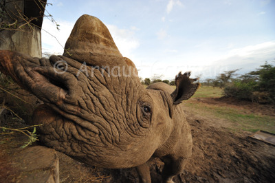 Baraka, the Blind Black Rhino