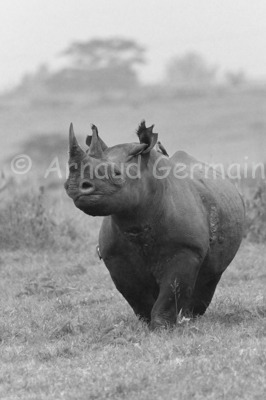 Black and White Black Rhino