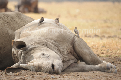 White Rhino Sleeping