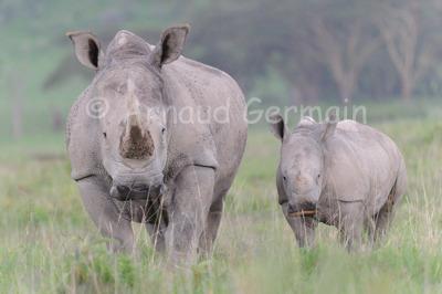 White Rhino Mother and Baby