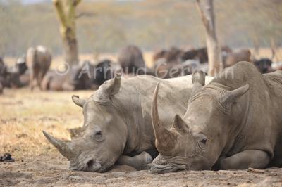 White Rhinos Asleep