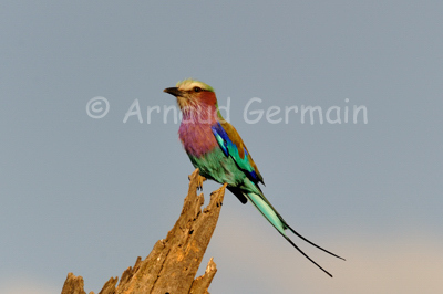 Lilac Breasted Roller on Tree Stump