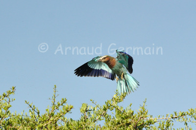Lilac Breasted Roller Landing