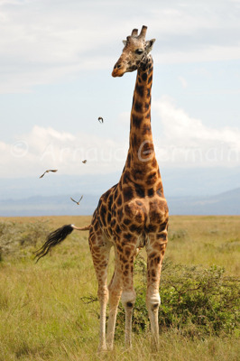 Rothschild Giraffe and Flying Oxpeckers