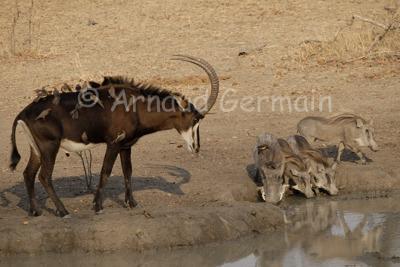 Sable Antelope and Warthogs at Waterhole