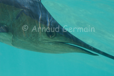 Sailfish portrait
