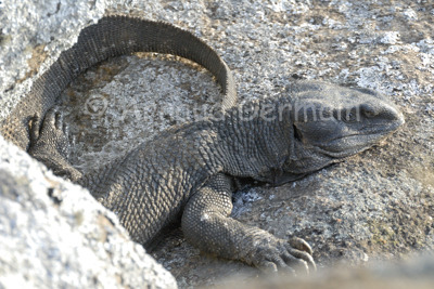 Savannah Monitor Lizard Resting