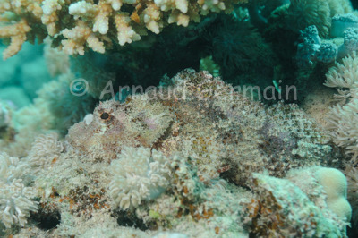 Scorpion Fish Ambush
