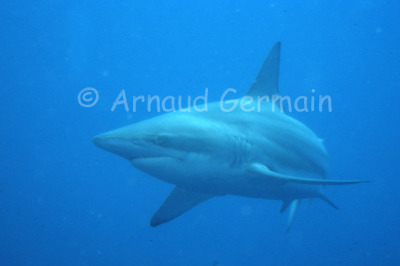 Blacktip Portrait