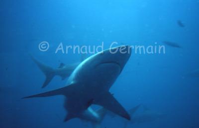 Close up of a Blacktip Shark