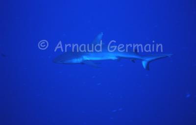 Grey Reef Shark Patrol