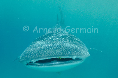 Whale shark coming