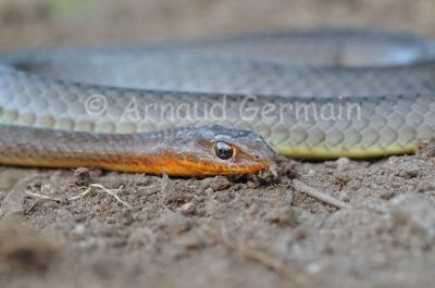 Olive Sand Snake