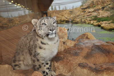 Snow Leopard in New Enclosure