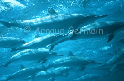 Spinner Dolphin Pod