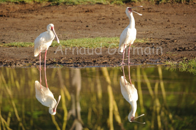 Spoonbill Reflection