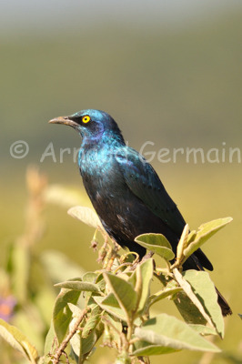 Great Blue Eared Starling