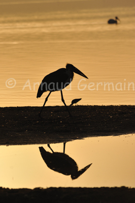 Marabou Stork at Sunrise