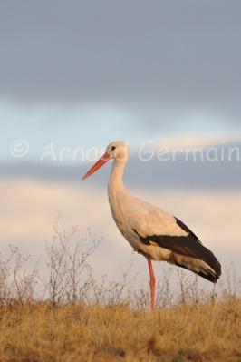 White Stork at Sunset