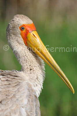 Yellow Billed Stork Portrait