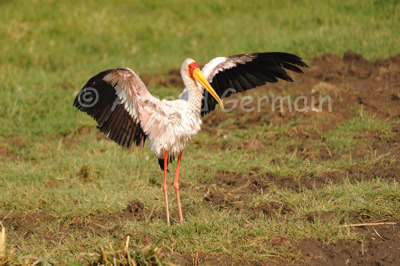 Yellow Billed Stork Drying Up