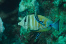 Sailfin Tang and cleaner Wrasse
