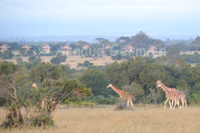 Giraffes in front of Sweetwaters Camp.