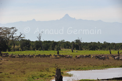 Zebras in the swamp in front of Mount Kenya